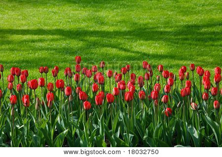 Red Tulip Row