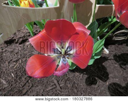 Versatile use of tulips in landscaping or gardening