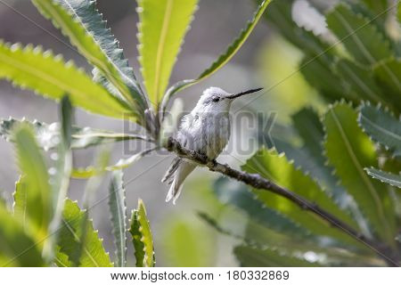 Rare Leucistic Anna's Hummingbird (Calypte anna) perched on a branch. Male spotted in the Australia Garden, UCSC Arboretum, Santa Cruz, California, USA.