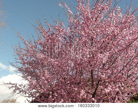 Plum tree in spring shown from top with pink blossoms against blue sky