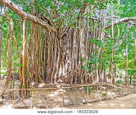 Banyan Tree In Sigiriya