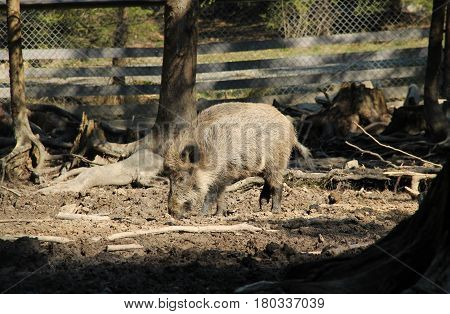 wild boar male (Sus scrofa) nuzzling in the mud