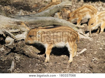 cute young wild pig (Sus scrofa) with stripes on its fur