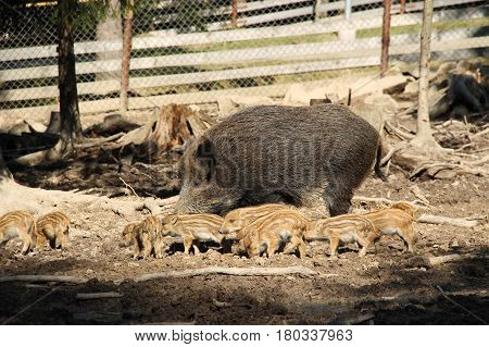 group of ten cute young wild pigs (Sus scrofa) with stripes on their fur with their mother