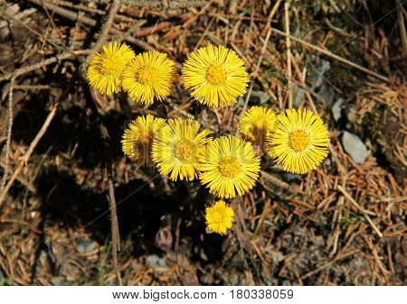 bunch of blooming yellow coltsfoot (Tussilago farfara) in spring