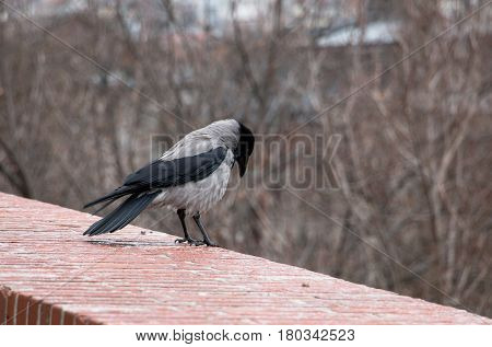 Corvus corone cornix or gray european crow standing alone on brick wall of Buda castle in Budapest Hungary