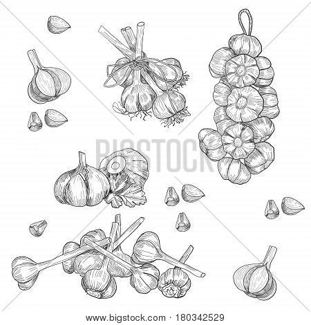 Vector hand drawn set of garlic. Stylized black and white sketch of a bundle of garlic groves tied with ribbon.
