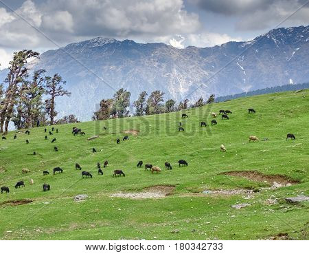 Sheeps herd grazing on gentle slope in Himalayas, India