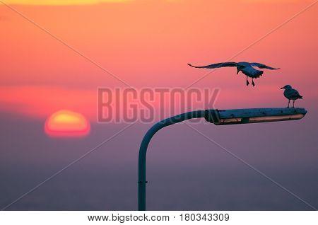 European Herring Gull (Larus argentatus) two birds land on a Lamppost at Sunset
