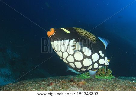 Clown Triggerfish fish