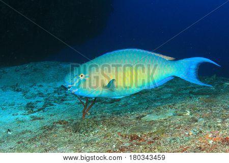 Parrotfish reef fish