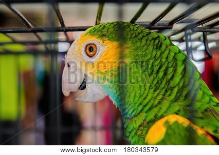 Parrot bird caged green orange feathers exotic pet close-up Trinidad and Tobago