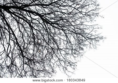 Black silhouette of bare leafless tree branches in autumn or winter dead nature outdoor isolated on white sky background. halloween loneliness