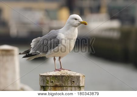 European Herring Gull (Larus argentatus) adult standing on a Mooring-post in a Harbour