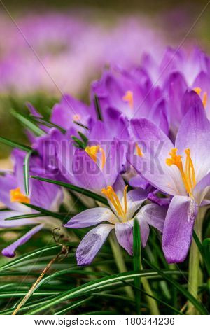 Crocus (plural: crocuses or croci) is a genus of flowering plants in the iris family. A single crocus, a bunch of crocuses, a meadow full of crocuses, close-up crocus.