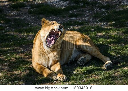 Roaring lioness lying on the grass in safari park