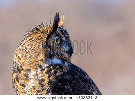 The great horned , also known as the tiger or the hoot owl, is a large bird native to the Americas. It is an extremely adaptable bird with vast range and is the most widely distributed true owl poster