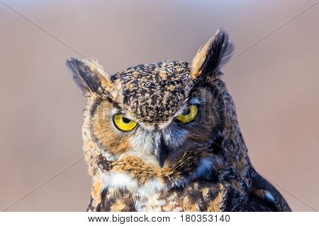 The great horned , also known as the tiger or the hoot owl, is a large bird native to the Americas. It is an extremely adaptable bird with vast range and is the most widely distributed true owl