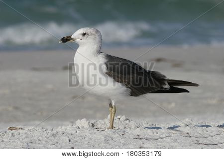 A juvenile Lesser Black-backed Gull on a beach in Florida