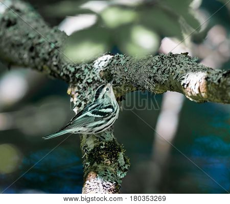 Black and white Warbler. A crisply striped bundle of black and white feathers creeps along tree trunks and branches like a nimble nuthatch, probing the bark for insects with its slightly curved bill.