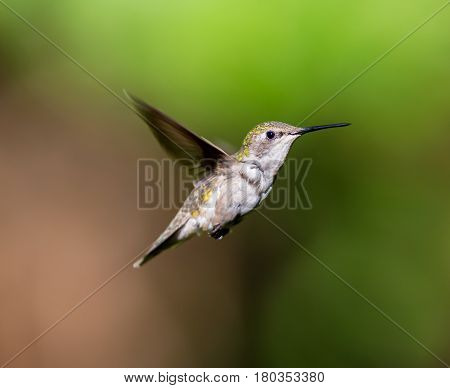 Ruby Throated Hummingbird female in a boreal forest in Northern Quebec after its long migration north. Very small hummingbirds with a lot of fight to do the long trip from the south.