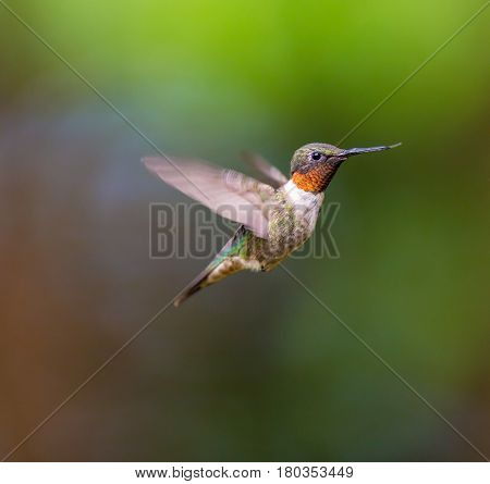 Ruby Throated Hummingbird male in a boreal forest in Northern Quebec after its long migration north. Very small hummingbirds with a lot of fight to do the long trip from the south.