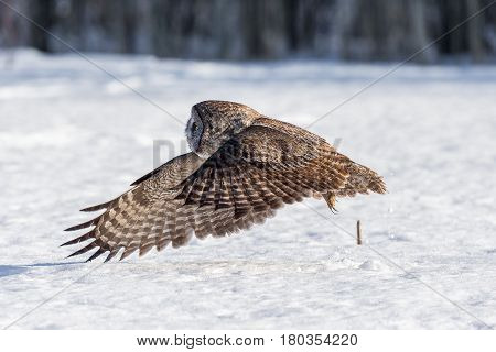 The great grey owl or great gray is a very large bird, documented as the world's largest species of owl by length. Here it is seen flying searching for prey in Quebec's harsh winter.