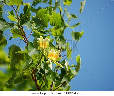 Springs leaves and blooms of American tulip tree (Liriodendron Tulipifera)