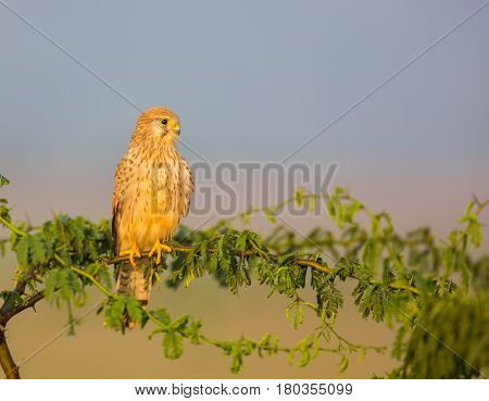 The common kestrel a bird of prey species belonging to the kestrel group of the falcon family. It is also known as the European , Eurasian, or Old World kestrel. Perched on a bush.