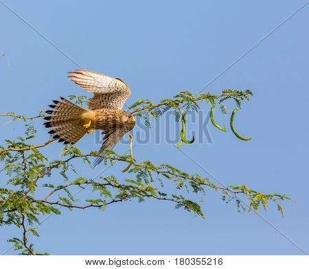 The common kestrel a bird of prey species belonging to the kestrel group of the falcon family. Here it is seen taking off from an acacia bush in full flight.