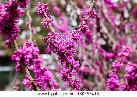 European Cercis Siliquastrum or Judas Tree Pink Blossoms and buds on trunk. Spring time. Selective focus, blurry and natural flowers background.