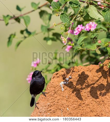 The pied bush chat is a small passerine bird found ranging from West Asia and Central Asia to the Indian subcontinent and Southeast Asia. Here it is seen perched on a termite mound looking for grubs.