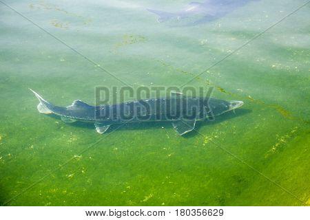 Big fish Beluga Huso swimming in the river or pond. European sturgeon, Wildlife animal.