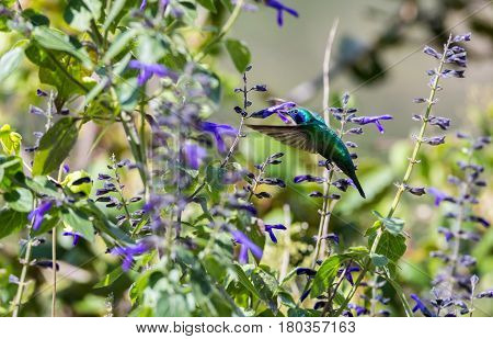 The incredibly beautiful Green Violet Eared Hummingbird in the central mountains of Mexico. This is a rare picture of a medium sized hummingbird that is very elusive and shy and is one special bird.