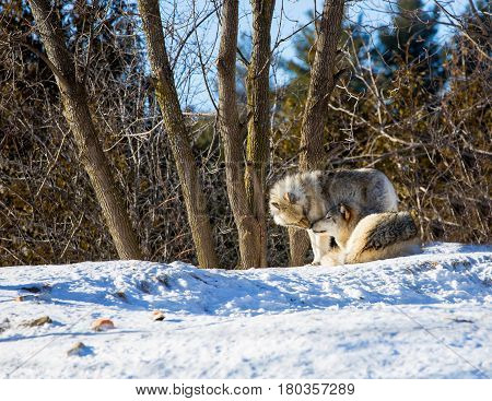 The gray wolf or grey wolf also known as the timber wolf, or western wolf, is a canine native to the wilderness and remote areas of North America and Eurasia. It is the largest member of its family.