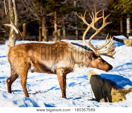 The reindeer, also known as caribou in North America, is a species of deer with circumpolar distribution, native to arctic, subarctic, tundra, boreal, and mountainous regions of North America.