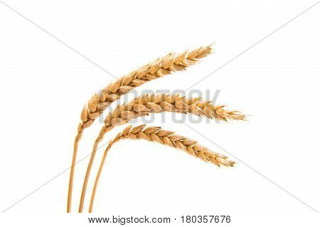 Wheat ears agriculture isolated on white background