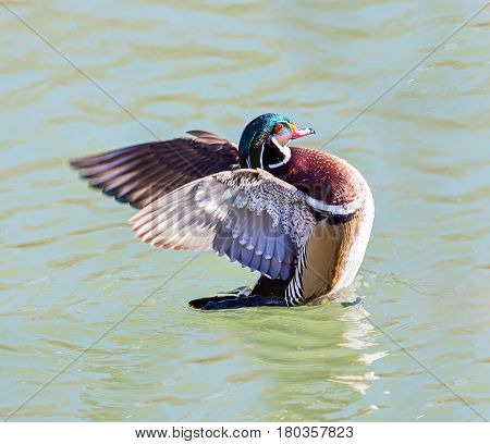 Wood duck male or Carolina duck swimming in a frozen pond in Quebec, Canada.
