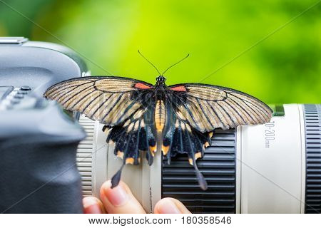 Lowi Swallowtail Papilio lowi, the great yellow Mormon or Asian swallowtail, is a butterfly of the family Papilionidae. It is found in Borneo, Indonesia, and the Philippines.