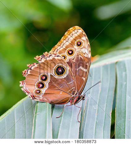 Rainforest blue Morpho Butterfly A Morpho Butterflyis one of over eighty described species of butterflies that reside in the rainforests. Morpho or Owl butterflies are neotropical butterflies. poster