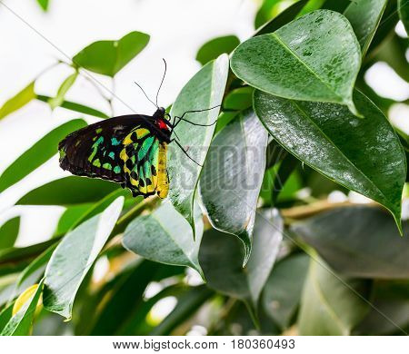 The Cairns birdwing, is a species of birdwing butterfly endemic to north-eastern Australia, and is Australia's largest endemic butterfly species. Other common names in are Cooktown and north birdwing.