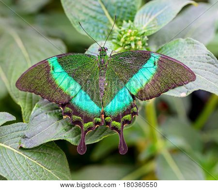 The common banded peacock, is a species of swallowtail butterfly found in parts of the Indian subcontinent, including India, Nepal, Bhutan and Sri Lanka. It is identified by its sparkling green sheen.