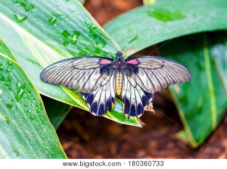 Lowi Swallowtail Papilio lowi, the great yellow Mormon or Asian swallowtail, is a butterfly of the family Papilionidae. It is found in Borneo, Indonesia, and the Philippines