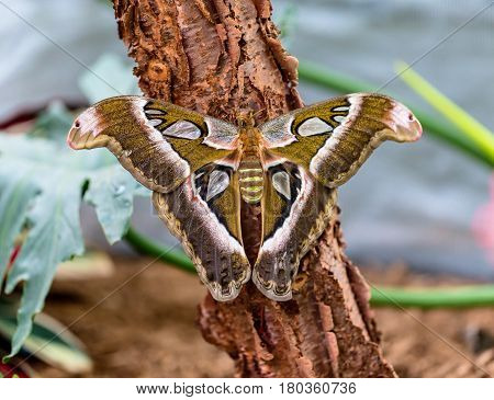 Cobra or Atlas moth is a large saturniid moth found in the tropical and subtropical forests of Southeast Asia, and is common across the Malay archipelago.