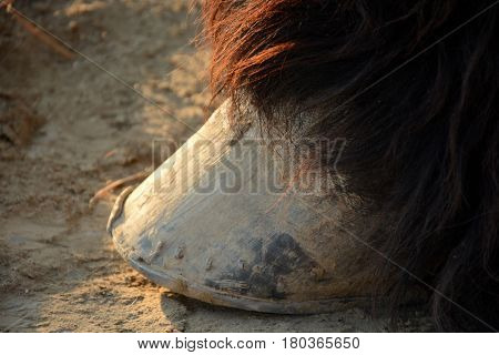 Big hooves of a heavy horse close up