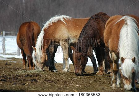 horses walking eating hay  tail  snow fence