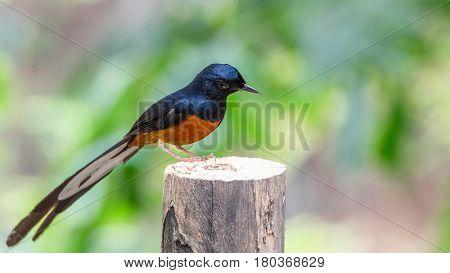 Bird (white-rumped Shama) On A Tree