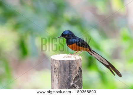 Bird (white-rumped Shama) On A Tree