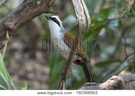 Bird (white-crested Laughingthrush) On A Tree