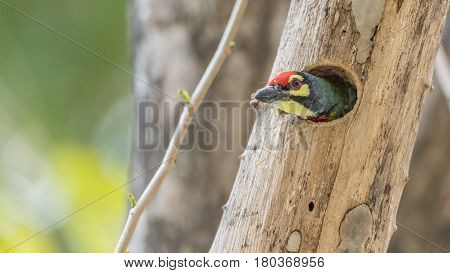 Bird (coppersmith Barbet) In Hollow Tree Trunk